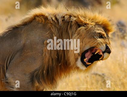 Retrato de un león rugiente, el Parque Nacional de Etosha, Namibia, África Foto de stock