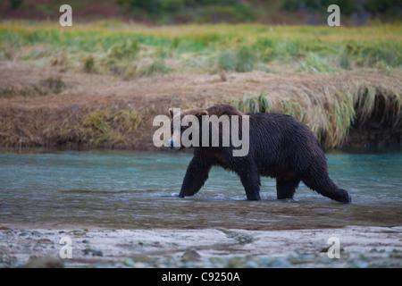 Oso Pardo cruza Kinak Laguna durante un otoño Salmon Run, parque nacional Katmai y preservar, la península de Alaska, Alaska