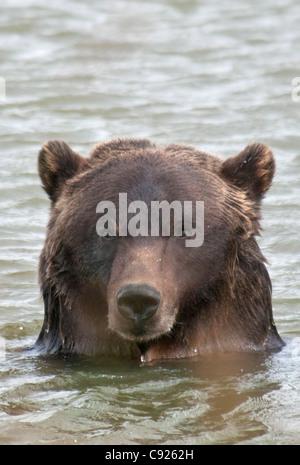 Cerca de un oso pardo en un estanque en el Centro de Conservación de la vida silvestre de Alaska, Southcentral Alaska, verano. Cautiva