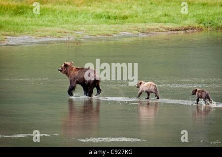 Oso Pardo siembre camina por un arroyo con su muelle cubs en Chinitna Bay, el Parque Nacional Lake Clark, Southcentral Alaska, Verano