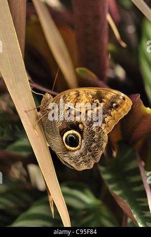 Común mariposa Morpho azul sobre una hoja , Morpho peleides Foto de stock