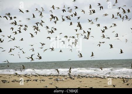 Guinea, Isla Bassigos, Gaviotas volando sobre el mar.