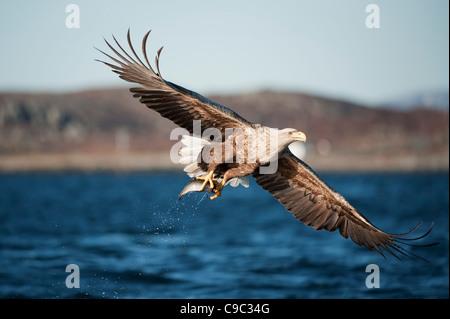 Águila de cola blanca después de tomar pescado de superficie del Reino Unido