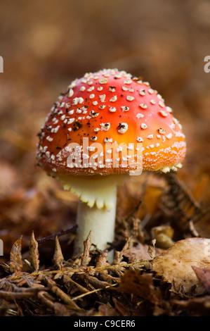 """Un único rojo con lunares blancos la del """"reig bord"""" Hongos - Amanita muscaria"""
