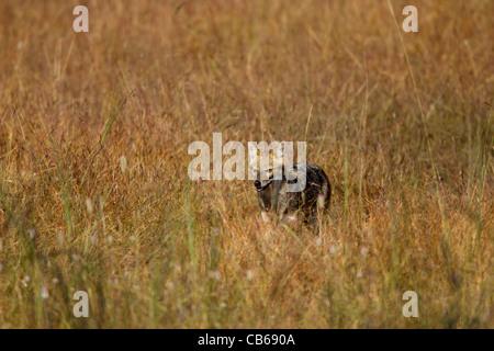 Indian Chacal (Canis aureus indicus), también conocido como El Chacal del Himalaya es una subespecie de golden jackal nativo de India, Bhuta