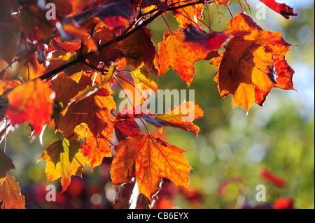 b957f9b88 Sol de otoño destaca el rico color rojo y naranja en las hojas de un árbol  en Lincoln