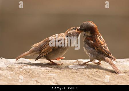 Un primer plano retrato de un macho de gorrión (Passer domesticus ) alimentando un joven fledgeling chick en el Reino Unido