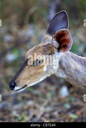 Una hembra joven Portait bushbuck (Tragelaphus scriptus), el Parque Nacional Kruger, Sudáfrica.