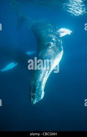 La ballena jorobada, Megaptera novaeangliae, Mar Caribe Dominica