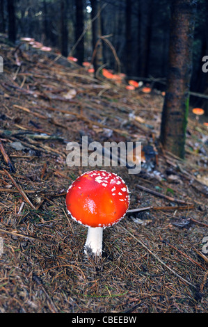 "Colonia de hongos de la del ""reig bord"" (Amanita muscaria) en bosques de pino St Dogmaels"