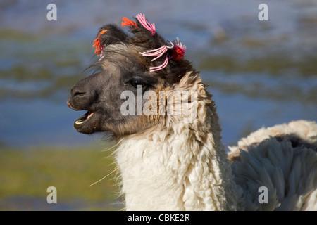 Llamas (Lama glama) con borlas de oído sobre la costa del lago salado Laguna Colorada en el Altiplano, Bolivia