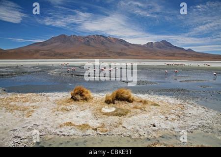Puna / flamencos de james (Phoenicoparrus jamesi) en el lago salado Laguna Hedionda en el Altiplano, Bolivia
