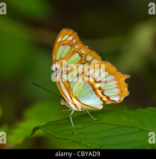 Malaquita Siproeta stelenes (mariposas), Manuel Antonio, Costa Rica