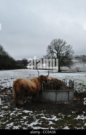 Una vaca en Highland Perthshire campo durante el invierno con nieve y niebla