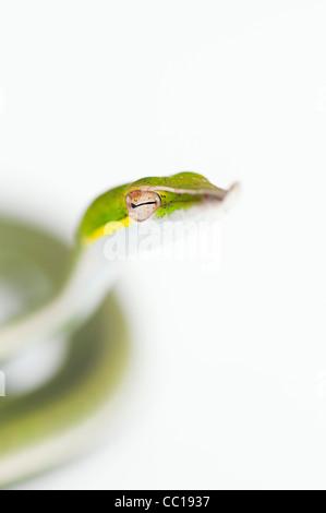 Ahaetulla nasuta . Menores serpiente vid verde sobre fondo blanco.