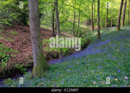 Alfombra clásica de inglés las campánulas azules en el camino entre Soudley y Blakeney en el Bosque de Dean, Gloucestershire, Reino Unido
