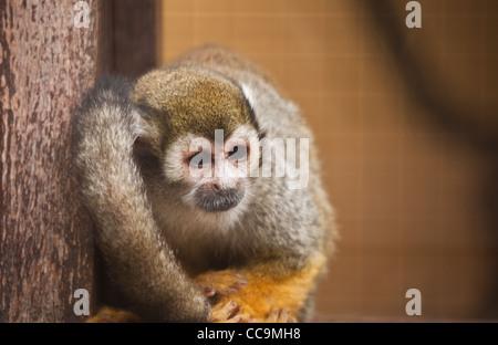 Triste mirando mono ardilla en cautividad en un zoológico
