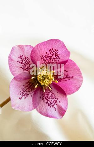 Lenten Rose ( Helleborus Orientalis ) vista de cerca del dedo meñique morado hellebore, mostrando el patrón moteado de pétalos interiores.