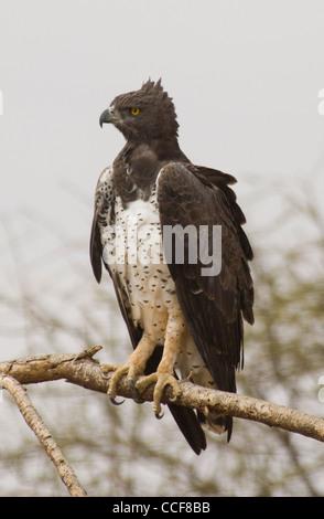 África Kenia Nacional de Samburu Reserve-Martial eagle en el árbol (Polemaetus bellicosus) Foto de stock