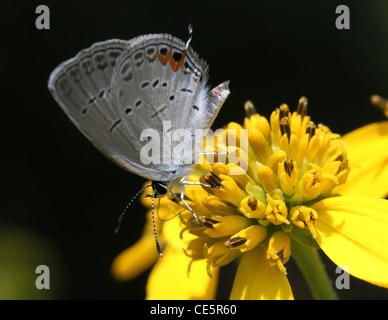 Mariposa Azul cola oriental alimentando wingstem flor Foto de stock
