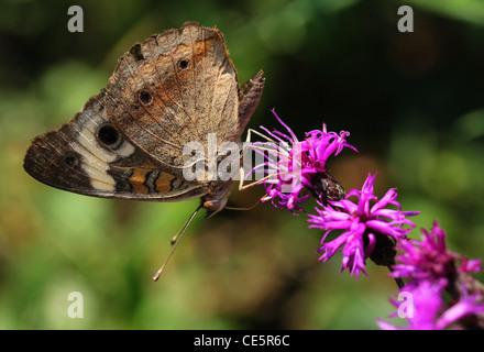 Buckeye común mariposa nueva york ironweed alimentación