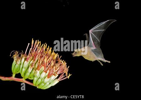 Menor de hocico largo Murciélago Leptonycteris curasoae Amado, Arizona, Estados Unidos de América el 23 de agosto de adulto a Parry's flores de agave.