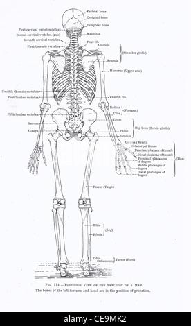 Anatomía del cráneo humano, vista trasera Foto & Imagen De Stock ...
