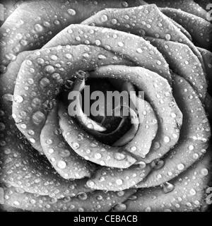 Negro y rosa blanca, grunge fondo floral abstracto patrón natural, flores frescas con gotas de agua, bellos pétalos húmedos Foto de stock