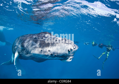 Un grupo de nadadores observa una ballena jorobada, Megaptera novaeangliae, pantorrilla como a la superficie para respirar.