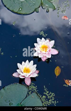 Rosa dos nenúfares en un estanque