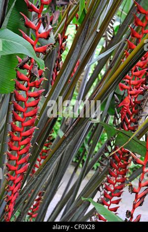 Heliconia Colgante Flor (Heliconia collinsiana), Isla Grande, las Islas de Hawaii, EE.UU. Foto de stock