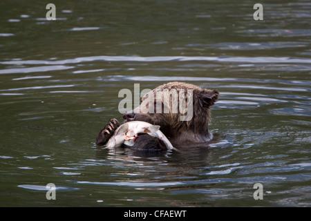 Oso grizzly (Ursus arctos horriblis), cuatro años cub con salmón (Oncorhynchus sp.), en la costa de la Columbia Británica.