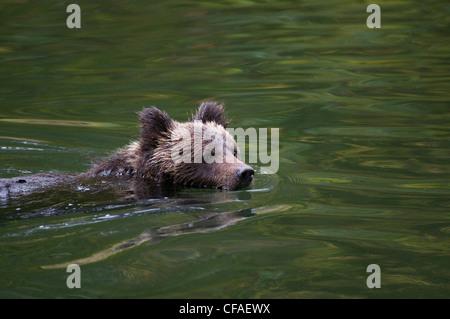 Oso grizzly (Ursus arctos) horriblis, cubs del año de natación, en la costa de la Columbia Británica.