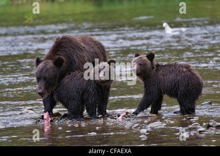 Oso grizzly (Ursus arctos horriblis), hembra y sus crías del año comer salmón (Oncorhynchus sp.), en la costa de la Columbia Británica.