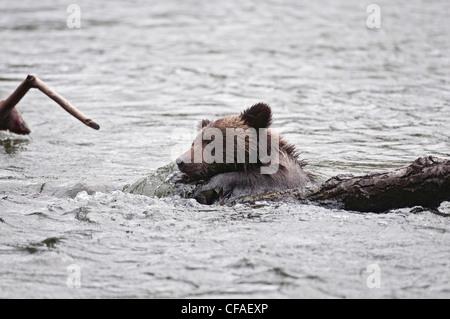Oso grizzly (Ursus arctos), horriblis cub del año luchando en iniciar sesión en la corriente del río, la costa de la Columbia Británica.