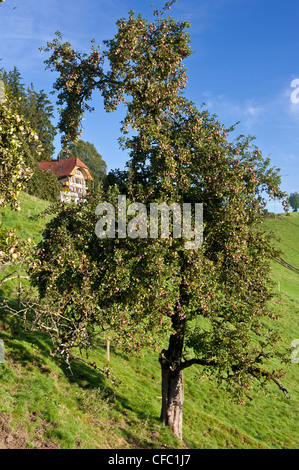 Apple, Apple tree, granja GRANJA granja, Emmental, casa, otoño, otoño, cantón de Berna, frutas, frutas Schafhausen, Schwand,