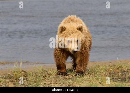 Grizzly Bear/oso Alaskbrown Ursus arctos