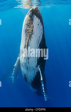 La ballena jorobada, Megaptera novaeangliae, Hawaii, USA, Océano Pacífico