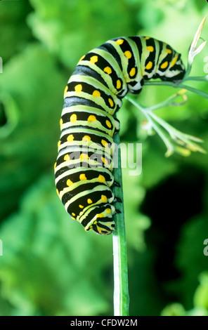 (Papilio polyxenes) Especie Oriental larva de mariposa, quinto estadio. se alimentan en la Anice
