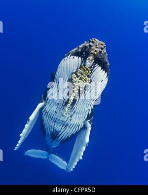 La ballena jorobada, Megaptera novaeangliae, con bellota parasitaria percebes colocadas debajo de la barbilla, Cornula diaderma, Hawaii, EE.UU.