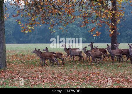 24 Oct 2012 : Windsor, REINO UNIDO - el otoño de ciervos en Windsor Great Park.