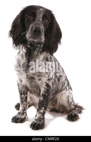 Trabajo único Cocker Spaniel cachorro sentado en un estudio UK