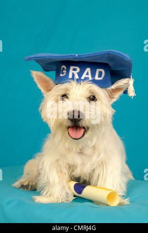 West Highland Terrier perro llevar sombrero con diploma de graduación Foto de stock