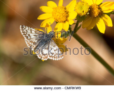 Checkered-Skipper común Checkered-Skipper Pyrgus Pyrgus communis blanco albescens Butterfly no pueden separarse en Field Arizona