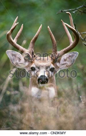 Anatomía de los ciervos Foto & Imagen De Stock: 34973927 - Alamy