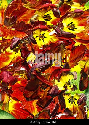 Tulipanes rojos y amarillos, cerrar Foto de stock