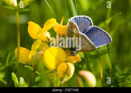 Un hombre común mariposa azul alimentándose de bird'spie el trébol en un wildflower meadow en North Downs en Kent