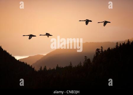 Compuesto: Trompetista cisnes en vuelo al atardecer en el Tongass National Forest, dentro del pasaje, sureste de Alaska, el muelle