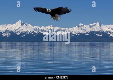 Compuesto: el águila calva vuela Lynn Canal con las montañas al fondo Chilkat, Tongass National Forest, dentro del pasaje, Alaska