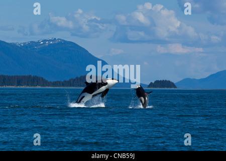 La madre y el ternero orcas quebrantar en Lynn Canal cerca de Juneau, Alaska, Sudeste de verano